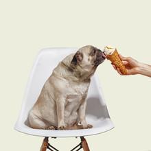 Pug Dog Sits On A Chair And Licks Ice Cream