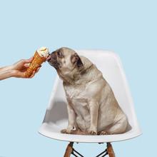 Pug Dog Sits On A Chair And Li...