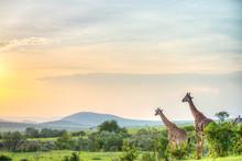 Beautiful Giraffe In Africa. Animal World