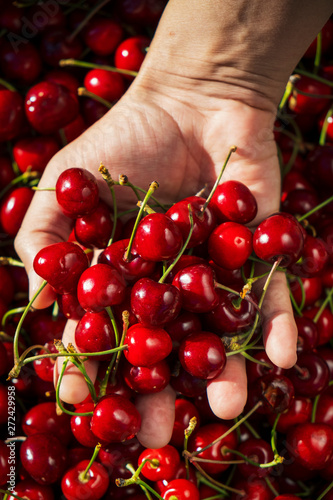 man with freshly collected cherries in his hand