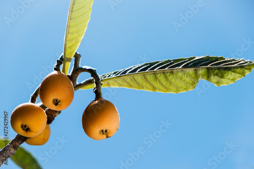 loquats hanging on a tree