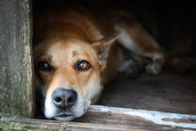 Sad View Of A Lonely Red Dog Lying In The Kennel - An Old Wooden House