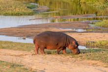 Hippopotamus Grazing Next To T...