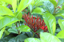 Photos Red Ixora Flowers In Th...