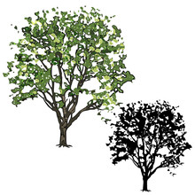 Elm With Leaves In The Summer, Two Drawings - Color And A Silhouette