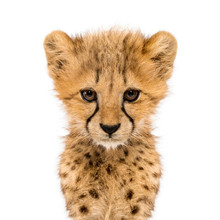 Close-up On A Facing Three Months Old Cheetah Cubs, Isolated