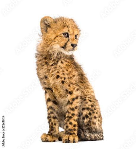 three months old cheetah cub sitting, isolated on white Wall mural