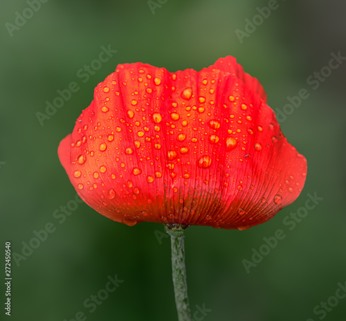 Fotografie, Obraz  Macro of an isolated red poppy blossom with rain drops on green blurry backgroun