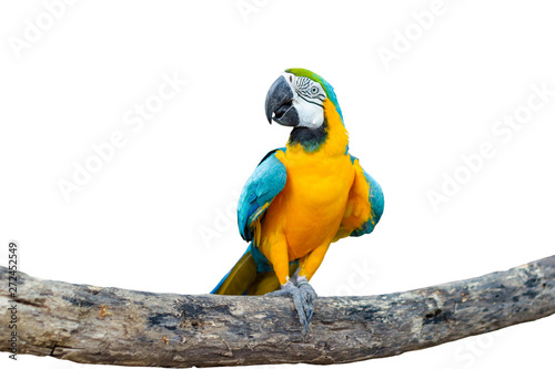 Bird Blue-and-yellow macaw standing on branches isolated white background.