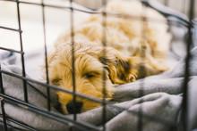 Adorable Golden Cockapoo Puppy...