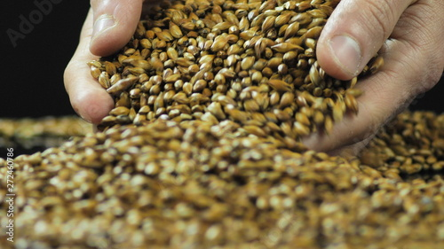 фотография Close-up hands are mixed to dry and sort caramelized malt or barley for making craft beer and whiskey or bread