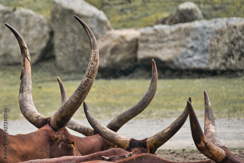 Tablou Canvas Abstract picture of a herd of Watussi cattle in which only the horns are visible
