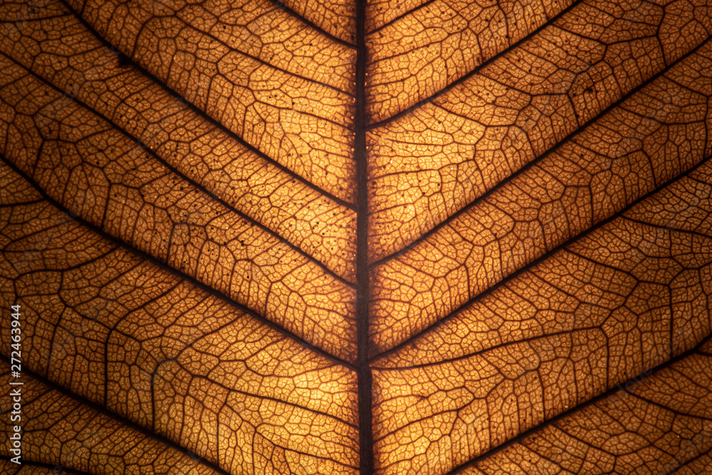 Fototapety, obrazy: Texture of a dried leaf