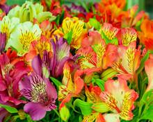 Beautiful Alstroemeria Flower ...