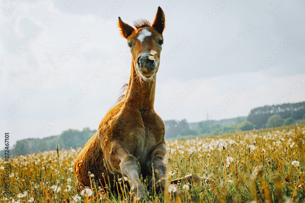 Fototapety, obrazy: Little foal having a rest in the green grass