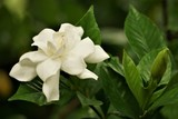 Pretty gardenia flower (Gardenia jasminoides) blooming on the green garden background , Spring in GA USA.