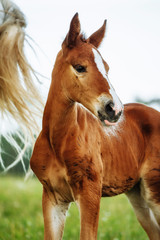 Closeup photo of a beautiful chestnut mare with her beautiful newbor foal at rural animal farm