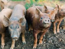 Pigs Looking At Camera In Mud