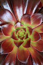 Aeonium Succulent Plant Details