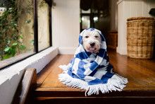 White Dog Wrapped In A Striped Towel Indoors After A Bath