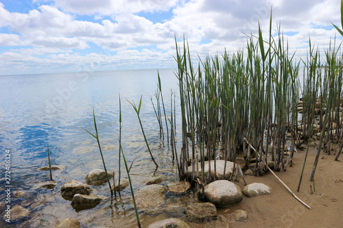 green reed on the beach with sand and stones, Baltic sea coast Canvas