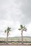 two palm trees and grey sky in the background - 272488981