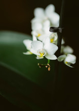 Tiny White Orchids Fastened To A Plant Support