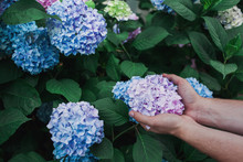 Holding Hydrangea Flower