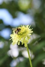 Bee On Cephalaria Flower
