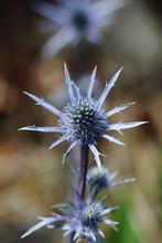Blue Eryngium Thistle In A Garden