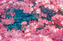 Pink Azalea Flower Garden Submerged In Crystal Clear Blue Water