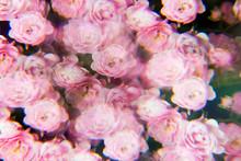 Pale Pink Rose Bush Photographed Through A Prism Filter