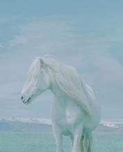 Portrait Of White Stallion Aga...