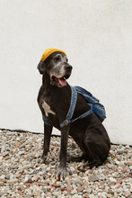 Dog In Hat With Backpack