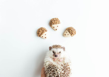 Pecan And Dark Chocolate Covered Cookies With Hedgehog