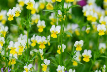 Wild Yellow Pansy Flowers In A Field. Alpine Meadow Violets. Viola Tricolor. Natural Floral Background