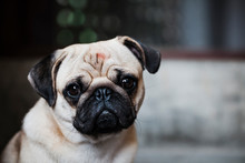 Portrait Of A Pug Looking At T...