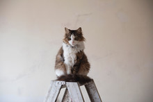 Tabby Cat On A Ladder During Renovation Of A House