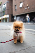 Little Adorable Pomeranian Dog
