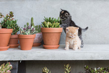 Kittens Playing In Plant Pot.