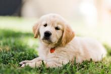 Golden Retriever Puppy Laying On Grass