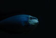 Marine Creature - Blue Fish
