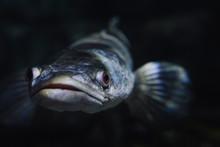 Marine Creature - Silver Fish