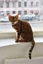 "Famous """"moew""""of Bengal Cat"