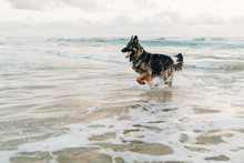 Happy German Shepherd In Ocean