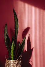 Sansevieria Leaf On Pink Background And Shadows