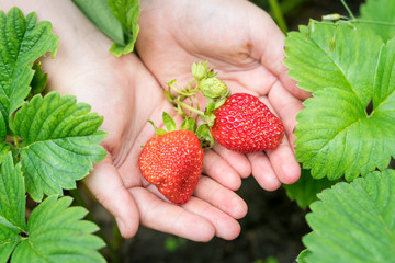 Organic strawberry in a kid's hands