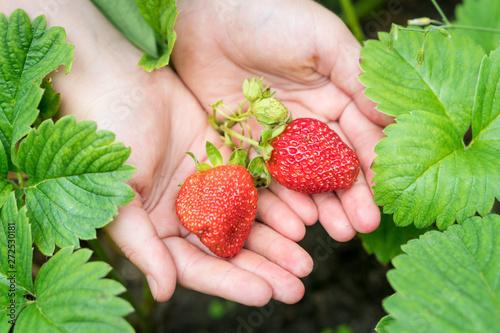 fototapeta na szkło Organic strawberry in a kid's hands