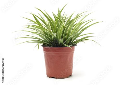 Fotomural Chlorophytum - evergreen perennial flowering plants in the famil