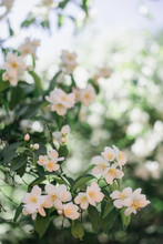 Mock Orange Tree Blossoms